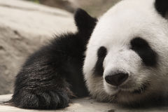 Panda. Lovely slipping panda in big zoom Stock Image
