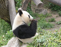 Panda. Eating fresh bamboo in zoo Stock Photo