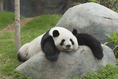 Panda. Giant panda bear sleeping Stock Photos