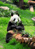 Panda fotos de stock royalty free