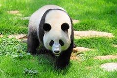 Panda stockfotos