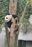 Panda. A panda is climbing on the tree Stock Images