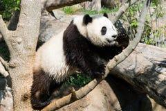 Panda Stock Afbeelding