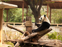 Panda Stockfotos