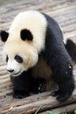 Panda Images libres de droits