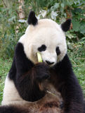 Panda. A big panda eating bamboo in a forest Stock Image