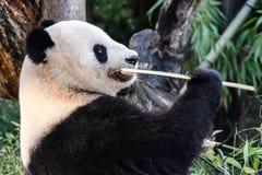Η Panda αντέχει στοκ φωτογραφίες