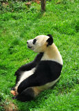 Panda Lizenzfreies Stockfoto