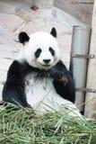 Panda fotos de stock