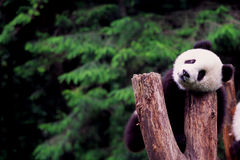 Panda. A baby Panda resting on a wood, China Stock Images