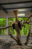 Panda Lizenzfreies Stockbild