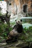 Panda Imagens de Stock Royalty Free