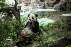 Panda Imagem de Stock