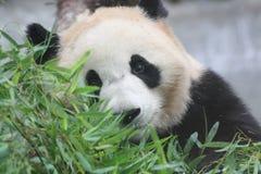 Panda Foto de Stock Royalty Free
