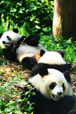 Panda Στοκ Εικόνες
