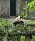 Panda Στοκ εικόνες με δικαίωμα ελεύθερης χρήσης