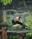 Panda Immagini Stock