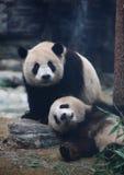 Panda. Two panda in beijing zoo royalty free stock photo