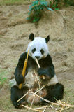Panda. Eating bamboo at ocean park, hong kong Royalty Free Stock Photography