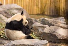 Panda Imagens de Stock