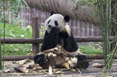 Panda Photographie stock libre de droits