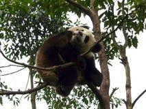 Panda Arkivbild
