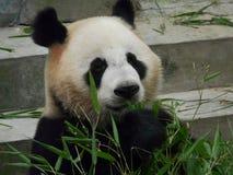Panda Royaltyfria Bilder