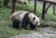 Panda Royalty-vrije Stock Afbeelding