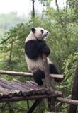 Panda Zdjęcia Royalty Free