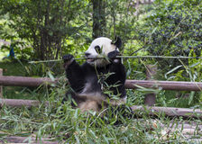 Panda Photos stock