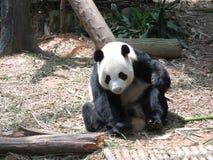 Panda immagine stock