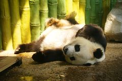 The panda. Living in China Stock Images