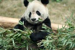 panda Στοκ φωτογραφίες με δικαίωμα ελεύθερης χρήσης