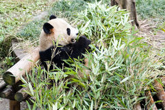 Panda. The panda is now a rare animal Royalty Free Stock Image