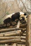 Panda Stock Images
