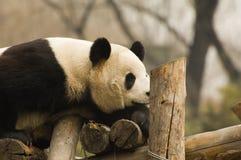 Panda Immagine Stock Libera da Diritti