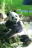 Panda. Eat bamboo and walk in the Zoo Royalty Free Stock Images