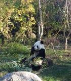 Panda Fotografie Stock