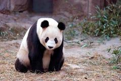 panda Obraz Stock