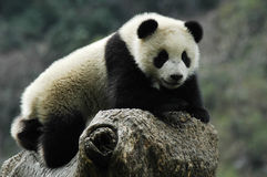 Panda Image stock