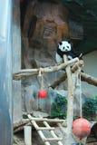 Panda zdjęcia stock