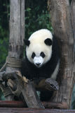 Panda. Is a quite lovely animal, seems a little bit dumpish but auctually quite smart. it can climb the trees even low hill Stock Photos