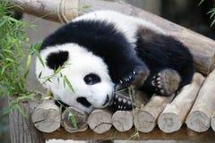 Panda Royalty-vrije Stock Foto