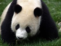 panda Fotografia Stock