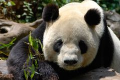 Panda Royalty Free Stock Photos
