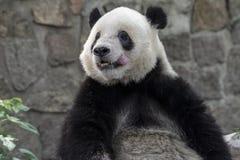 Panda Fotos de Stock Royalty Free