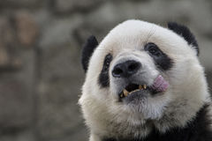 Panda Photographie stock