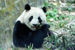 Panda Fotografering för Bildbyråer
