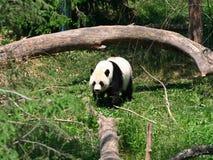 Panda Stockbilder