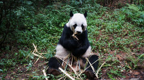 The iconic Giant Panda. An adult panda eating bamboo while sitting on grass stock image